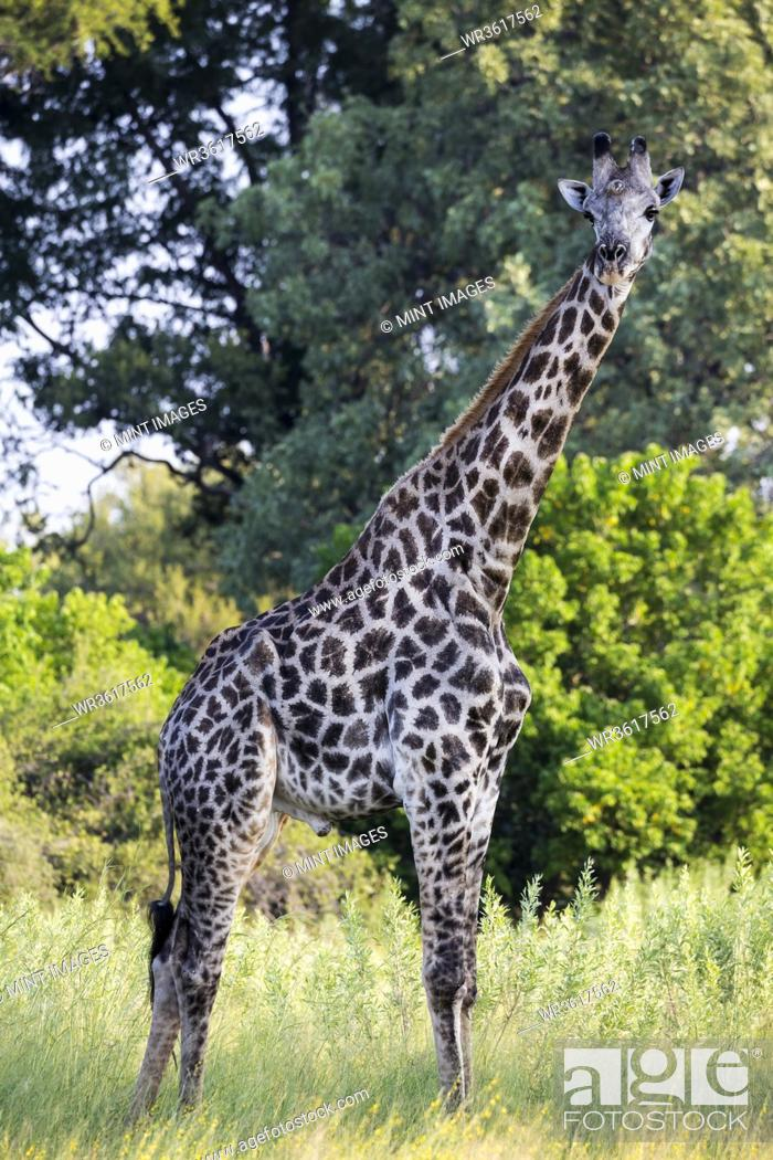 Stock Photo: A giraffe among the trees in woodland.