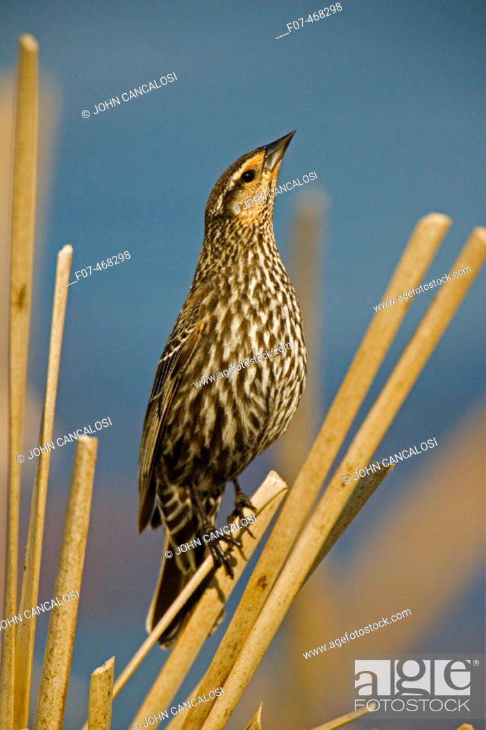 Stock Photo: Red-winged Blackbird-Female-Agelaius phoeniceus-New York-Abundant in marshes and fields-Occurs throughout U.S. and much of Canada and Mexico-Forms immense.