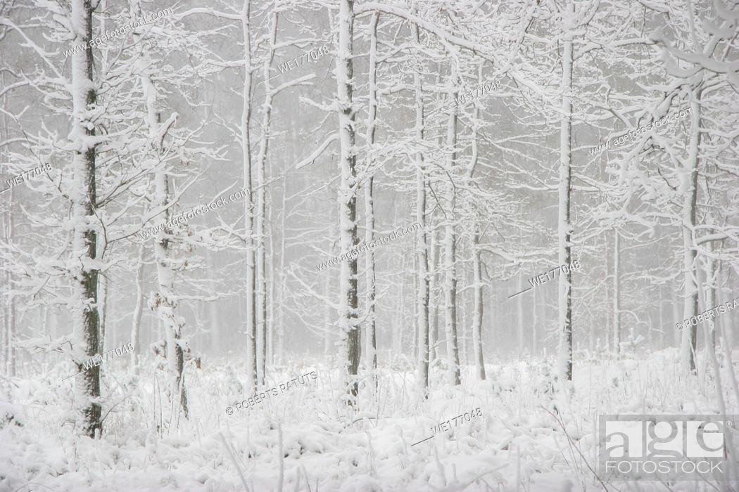 Imagen: Beautiful landscape of the forest on a cold winter day with trees covered with snow. Snowfall in the forest in Latvia. Winter in forest.