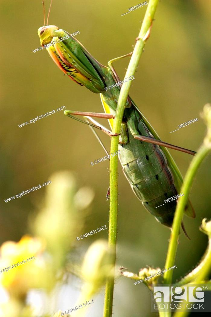 Stock Photo: Praying Mantis (Mantis religiosa).
