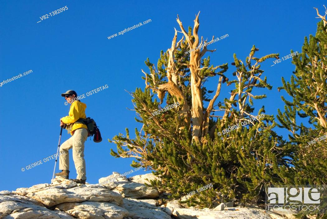 Stock Photo: Cottonwood Basin Overlook Trail, Ancient Bristlecone Pine Forest, Ancient Bristlecone National Scenic Byway, Inyo National Forest, California.