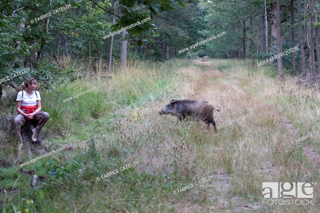 Stock Photo: Nature - Fauna - Wild boar - Young wild boar facing a walker in forest.