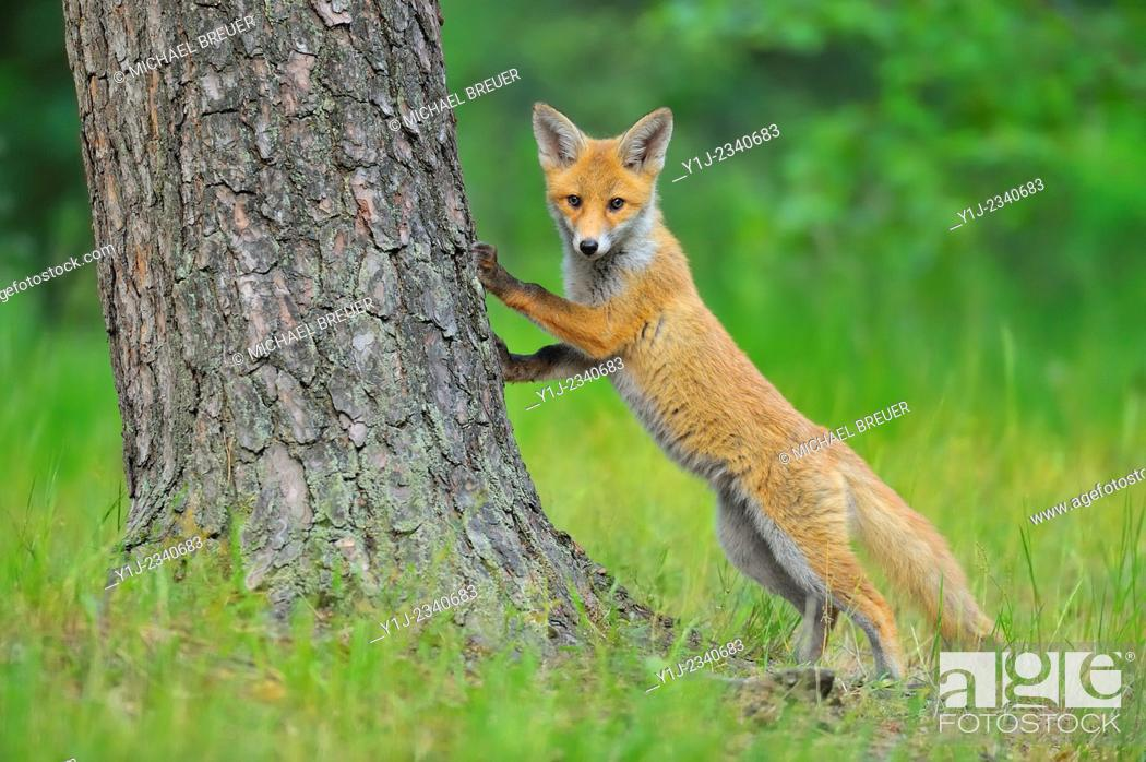 Stock Photo: Young Red Fox, Vulpes vulpes, Hesse, Germany, Europe.