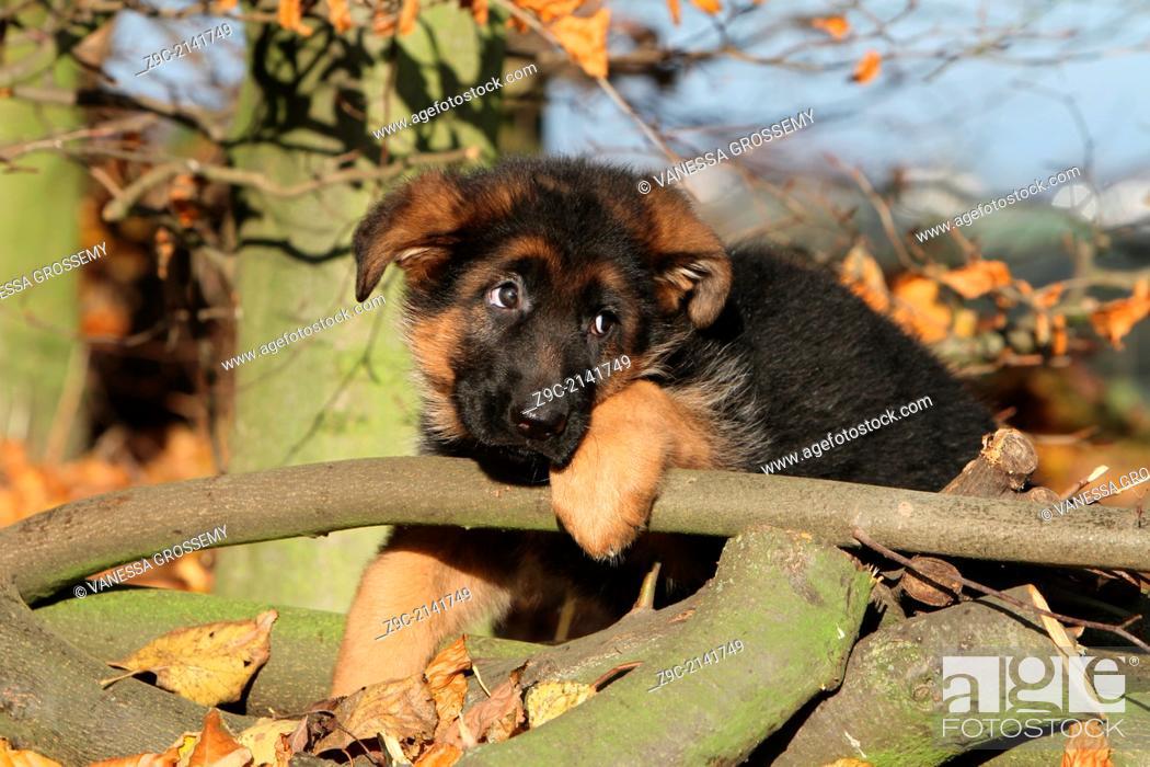 Stock Photo: Dog German Shepherd Dog / Deutscher Schäferhund puppy lying on a wood.