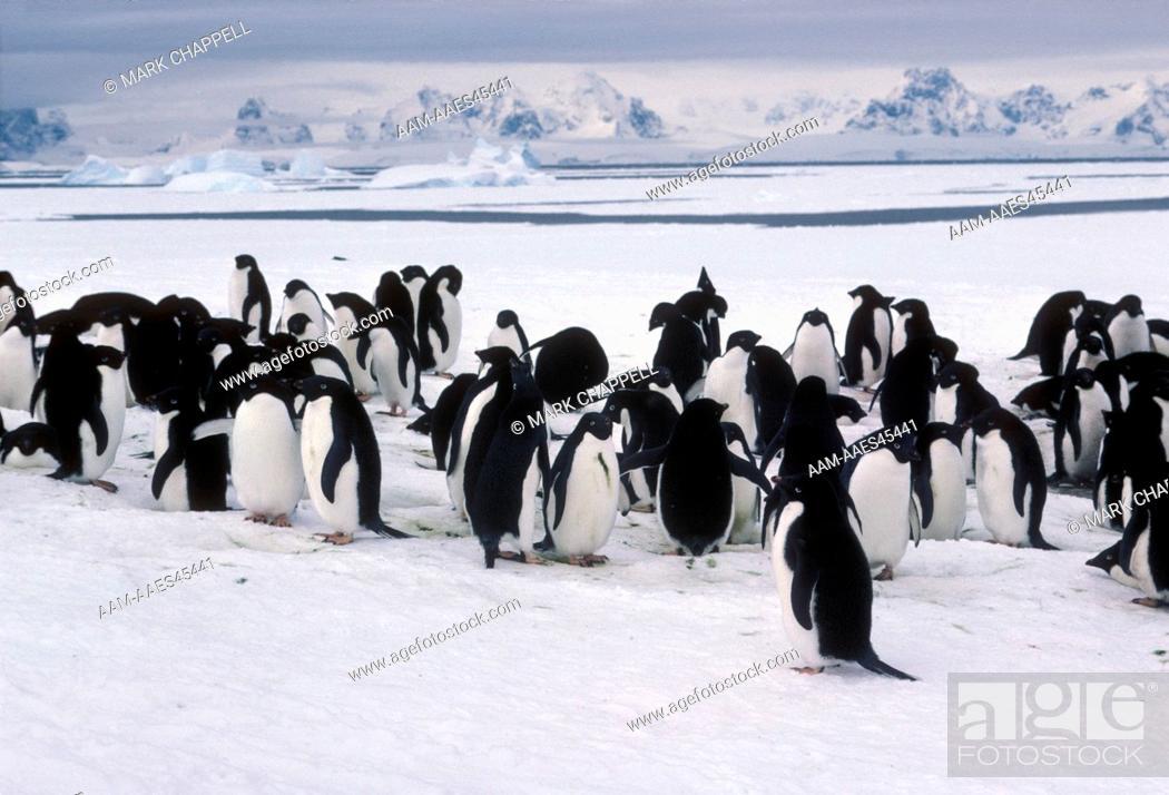 Stock Photo: Adelie Penguins (Pygoscelis adeliae) Anvers Is., Antarctica.