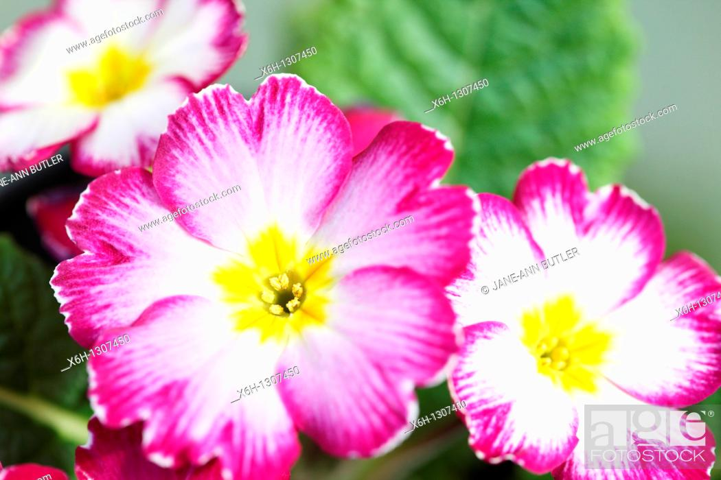 Stock Photo: Common Primrose, early spring flower.
