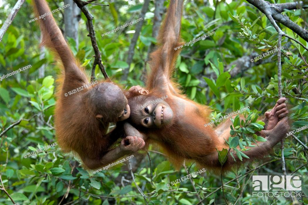 Stock Photo: Orangutan (Pongo pygmaeus) two year old infants playing in tree, Orangutan Care Center, Borneo, Indonesia.