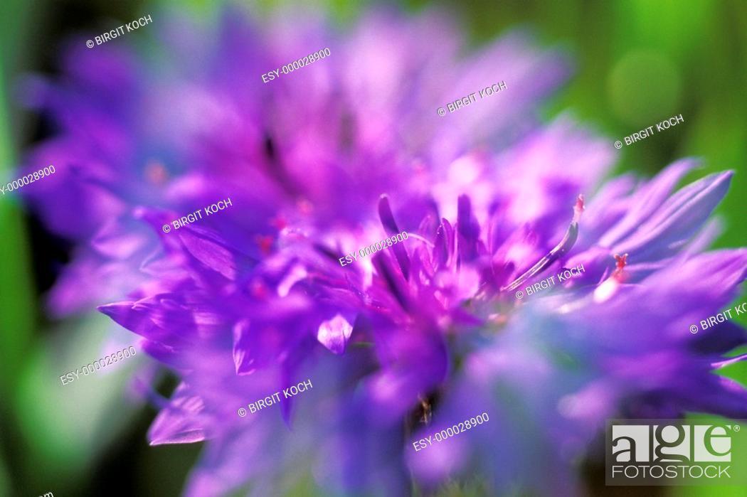 Stock Photo: Cornflower (Centaurea cyanus).