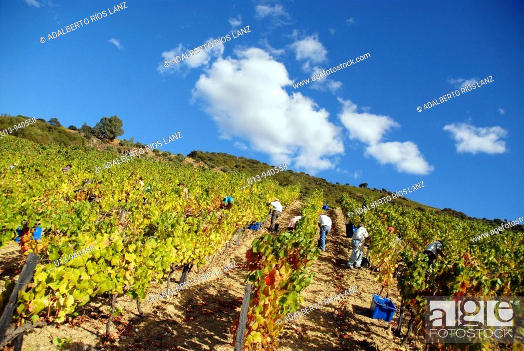 Stock Photo: Grape Harvest at the Fields in the Symington States, Pinhao,  Duoro Valley, Duoro, Portugal.