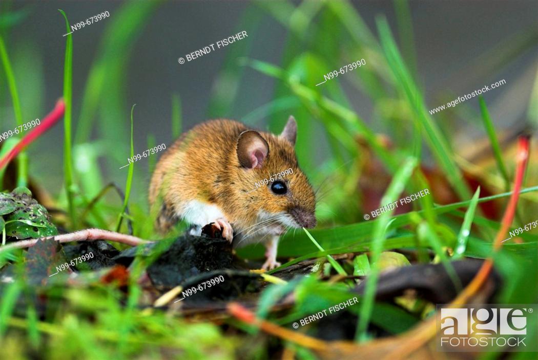 Stock Photo: Yellow-necked mouse (Apodemus flavicollis), between grass, vegetation of the ground, Bavaria, germany.