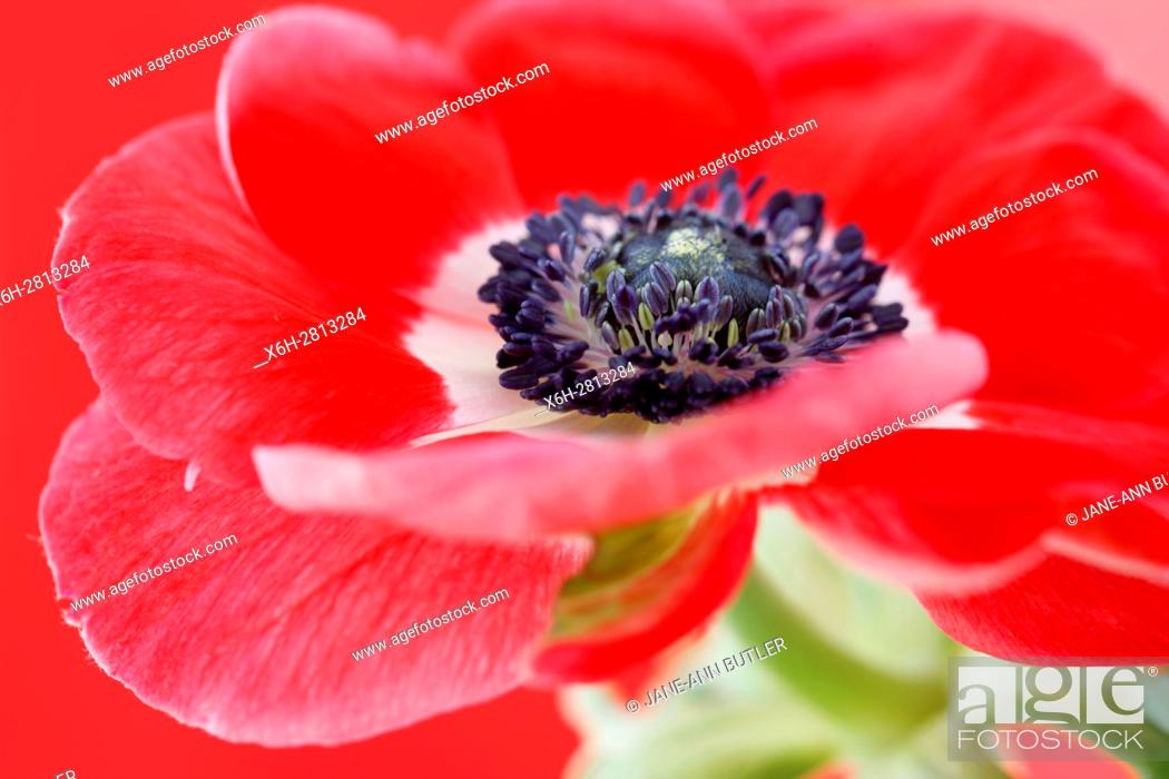 Photo de stock: exquisite red anemone still life - red on red.