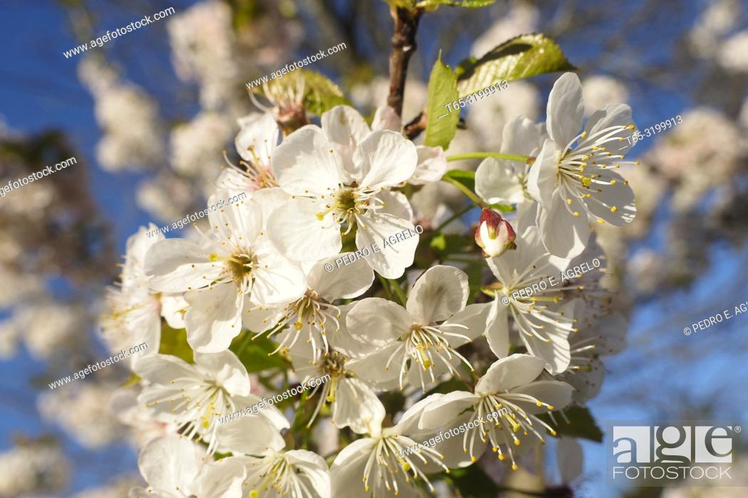 Stock Photo: Cherry blossom in a Galicia forest.