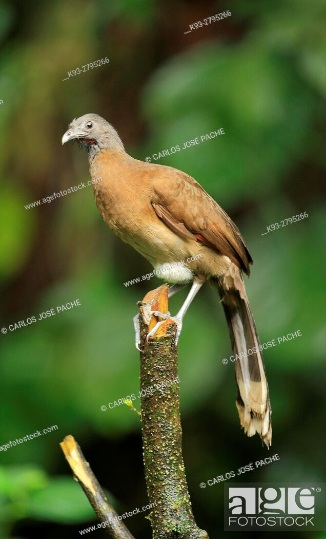 Imagen: Grey-headed chachalaca (Ortalis cinereiceps) in the jungle, Peninsula de Osa, Costa Rica.