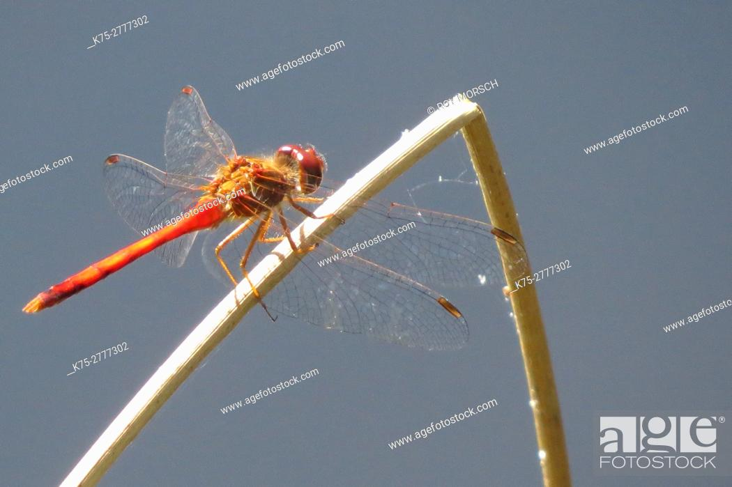 Stock Photo: orange darner dragonfly.