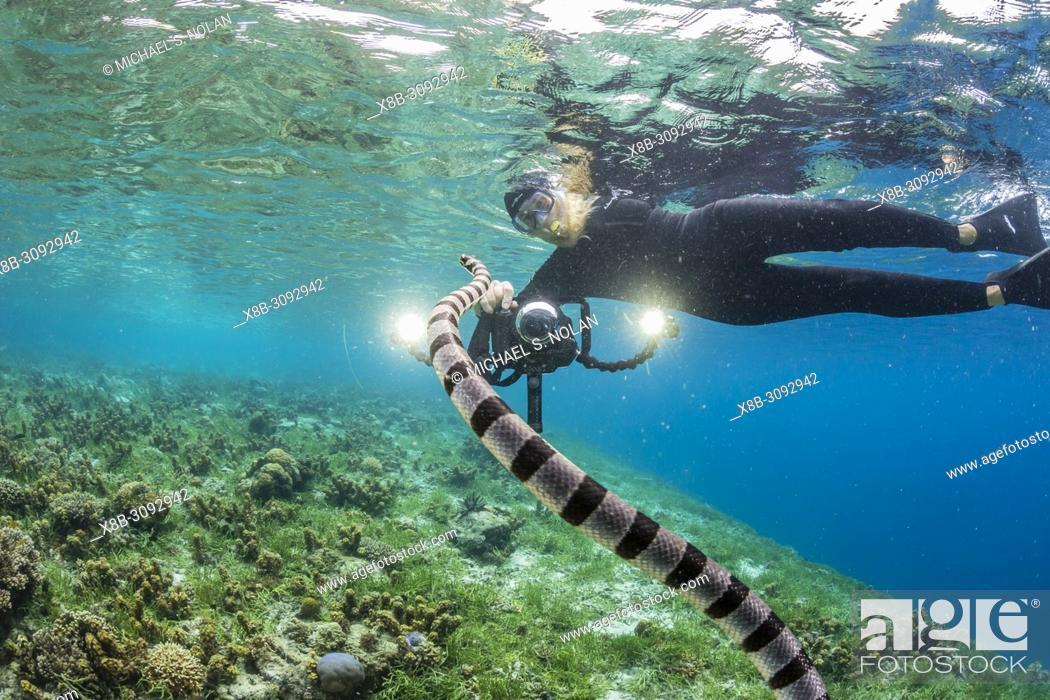 Stock Photo: Banded sea krait, Laticauda colubrina, with photographer on Sebayur Island, Flores Sea, Indonesia.