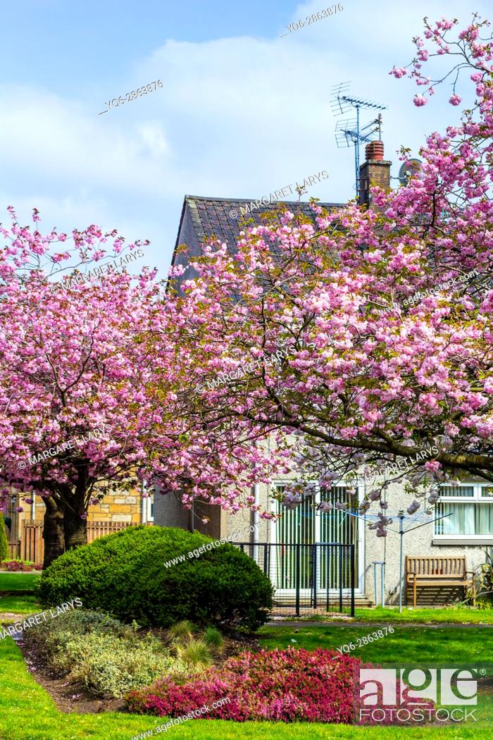 Stock Photo: Kylsith, North Lanarkshire, Scotland, UK. Japanese cherry trees blooming in the village of Scotland on a beautiful, sunny day.