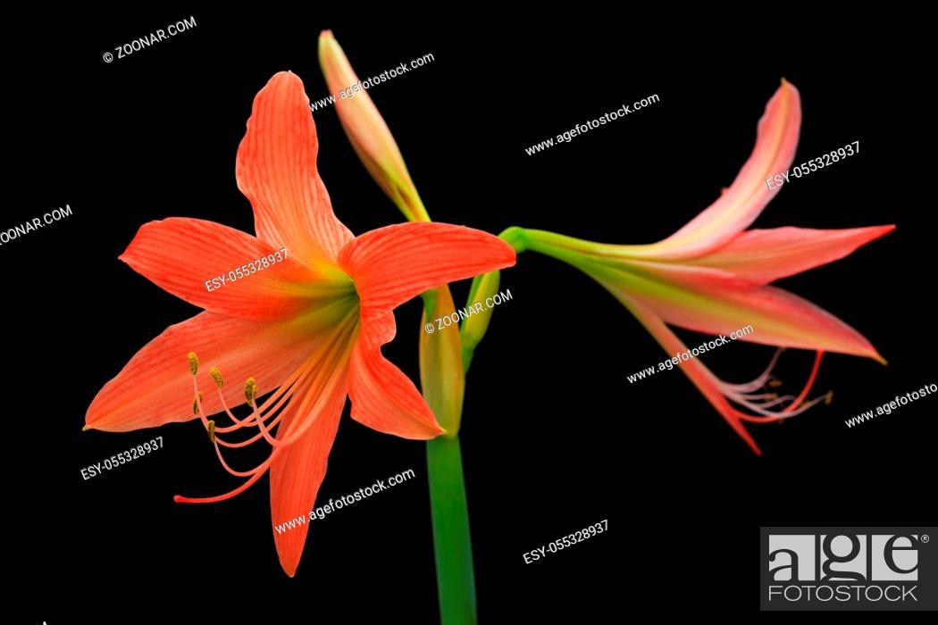 Stock Photo: Orange amaryllis flower isolated on black background close up.