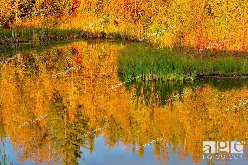 Stock Photo: Autumn aspens reflected in a beaver pond, Yellowknife, Northwest Territories, Canada.