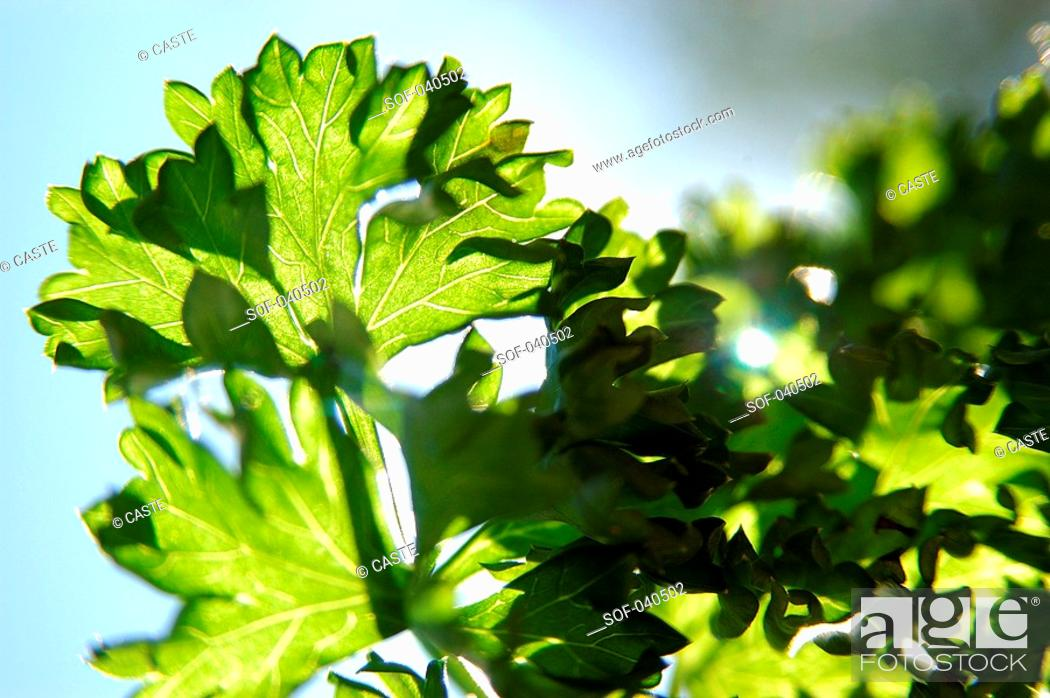 Stock Photo: curly-leaved parsley in sun.