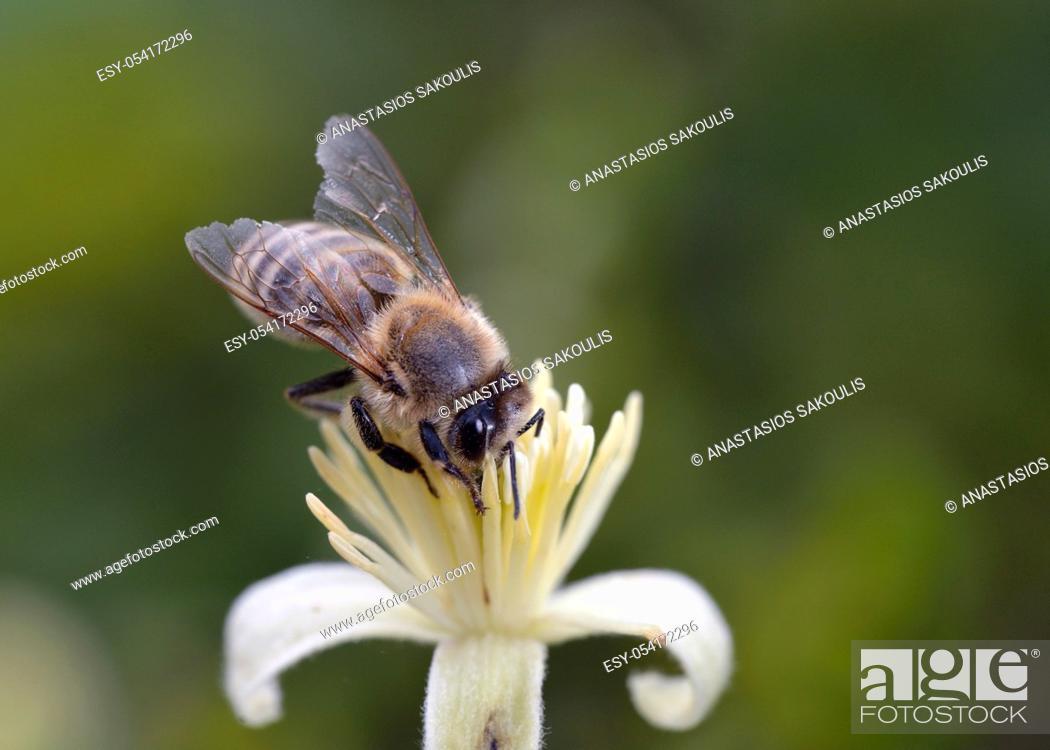 Stock Photo: European honey bee - Apis mellifera, Greece.