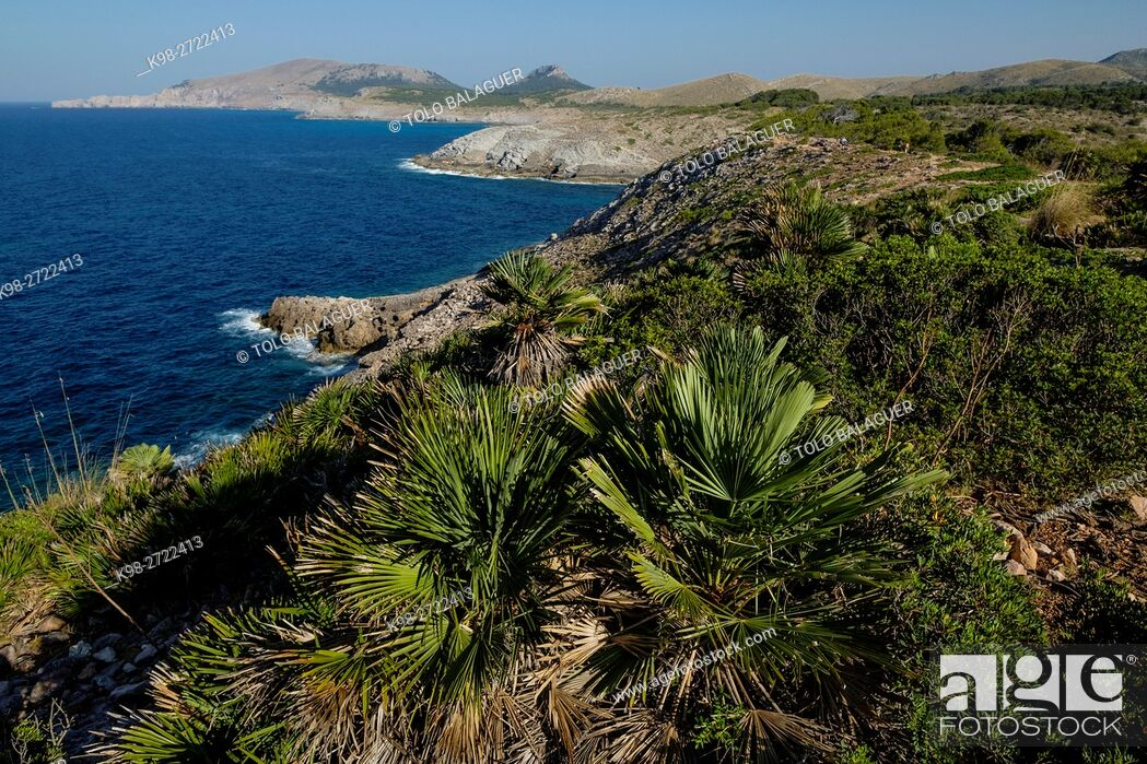 Stock Photo: Pamito, Chamaerops humilis, es Matzoc , Artá , comarca del Levante, Majorca, Balearic Islands, Spain.