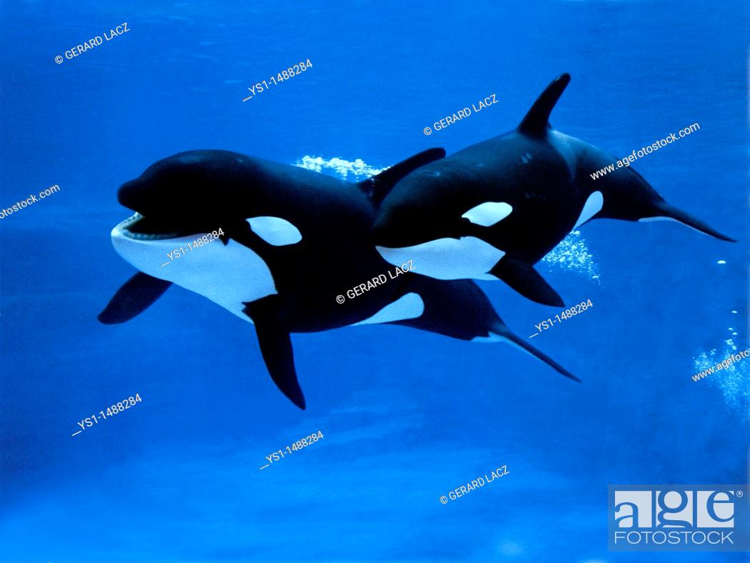 Stock Photo: Killer Whale, orcinus orca, Female with Calf.