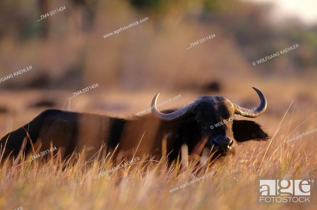 Stock Photo: BOTSWANA, OKAVANGO DELTA, CAPE BUFFALO IN HIGH GRASS, EVENING SUNSHINE.