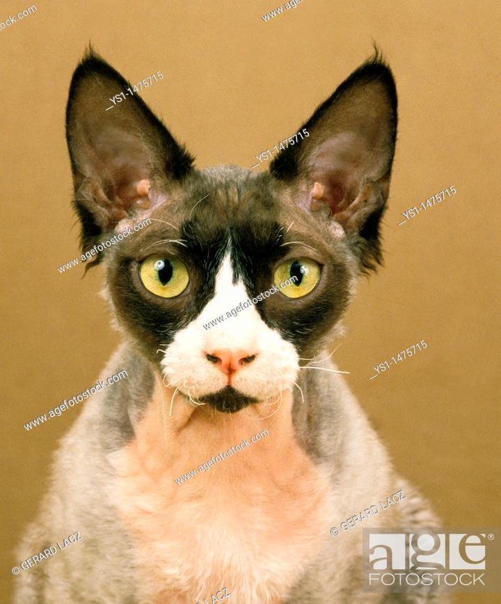 Stock Photo: Devon Rex Domestic Cat, Portrait of Adult.