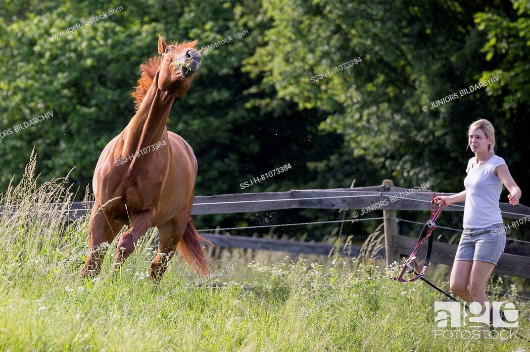 Stock Photo: Austrian Warmblood. Woman trying to catch hestnut gelding on a pasture. Austria.