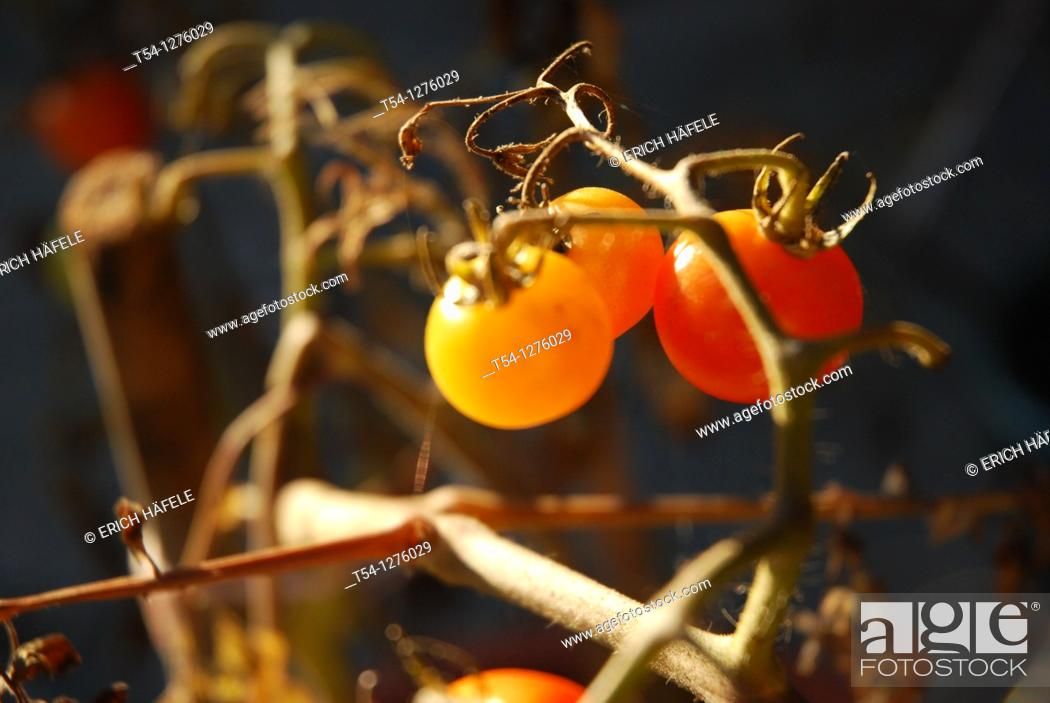 Stock Photo: Ripe tomatoes in the sun.