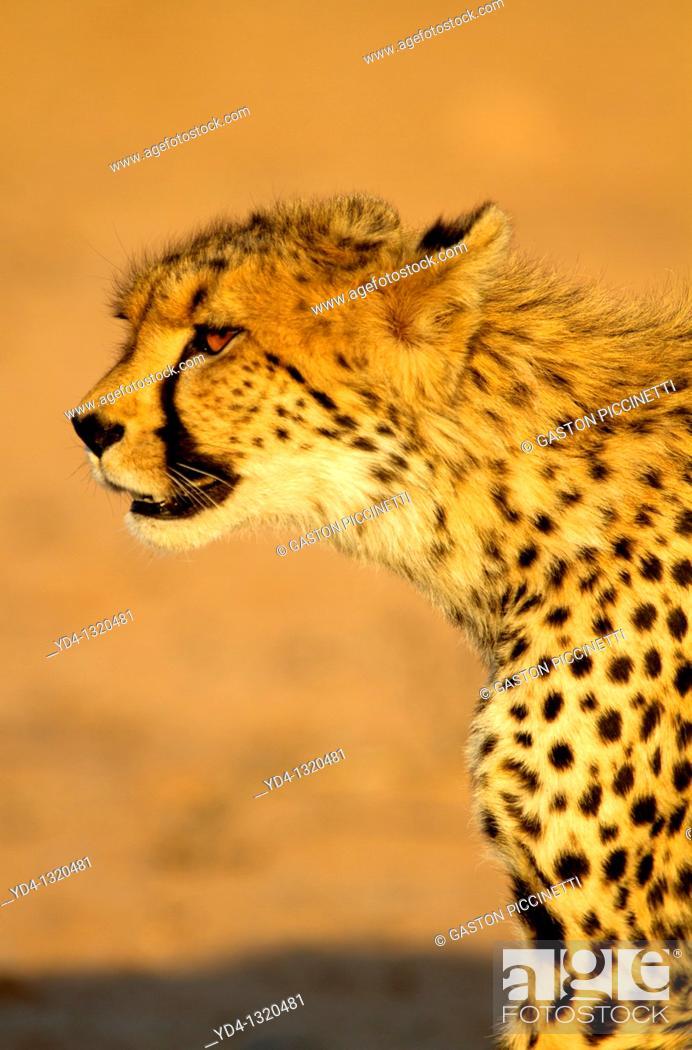 Stock Photo: Cheetah Acinonyx jubatus, Kgalagadi Transfrontier Park, Kalahari desert, South Africa.