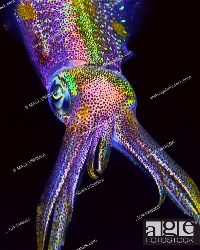 Stock Photo: Caribbean reef squid, Sepioteuthis sepioidea, hunting at night, Key Largo, Florida Keys National Marine Sanctuary, USA, Caribbean Sea, Atlantic Ocean.