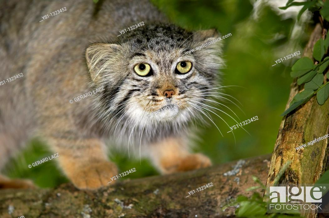 Stock Photo: MANUL OR PALLAS'S CAT otocolobus manul, ADULT ON BRANCH.