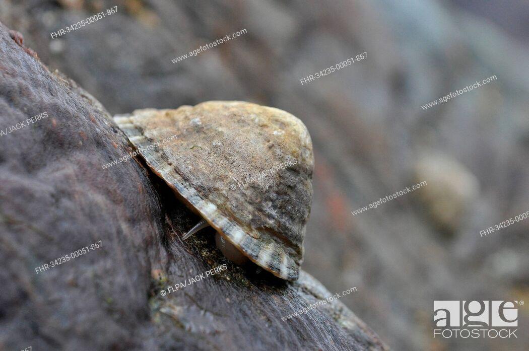 Stock Photo: Common Limpet (Patella vulgata) adult, feeding on rock at low tide, Porthkerris, Lizard Peninsula, Cornwall, England, May.