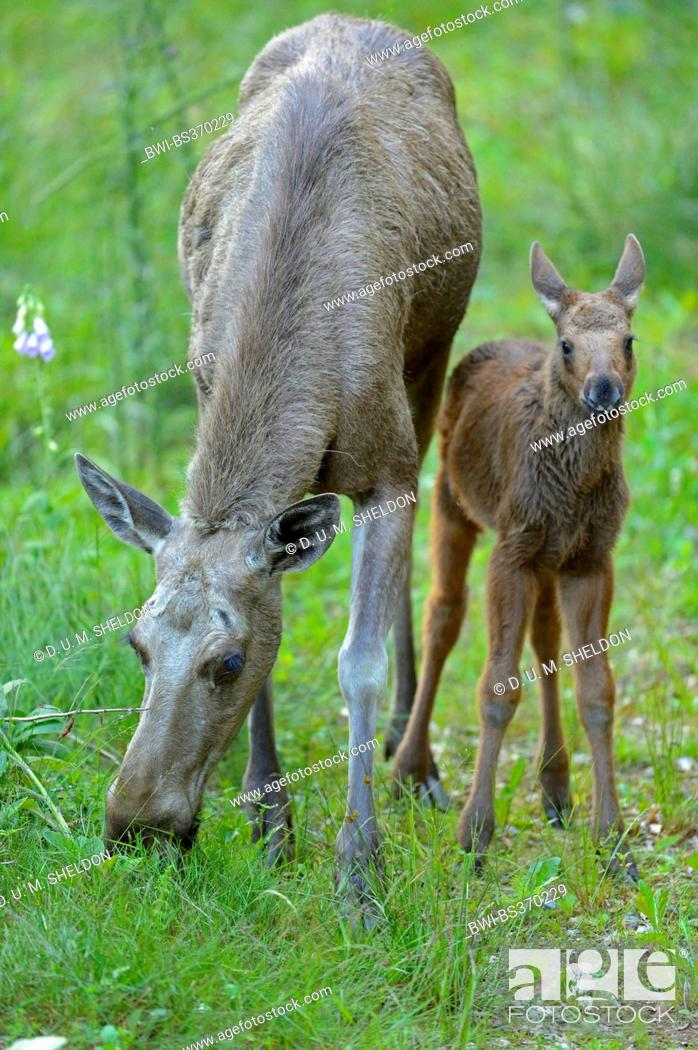Stock Photo: elk, European moose (Alces alces alces), cow moose with calf on a clearing, Germany, Bavaria, Bavarian Forest National Park.