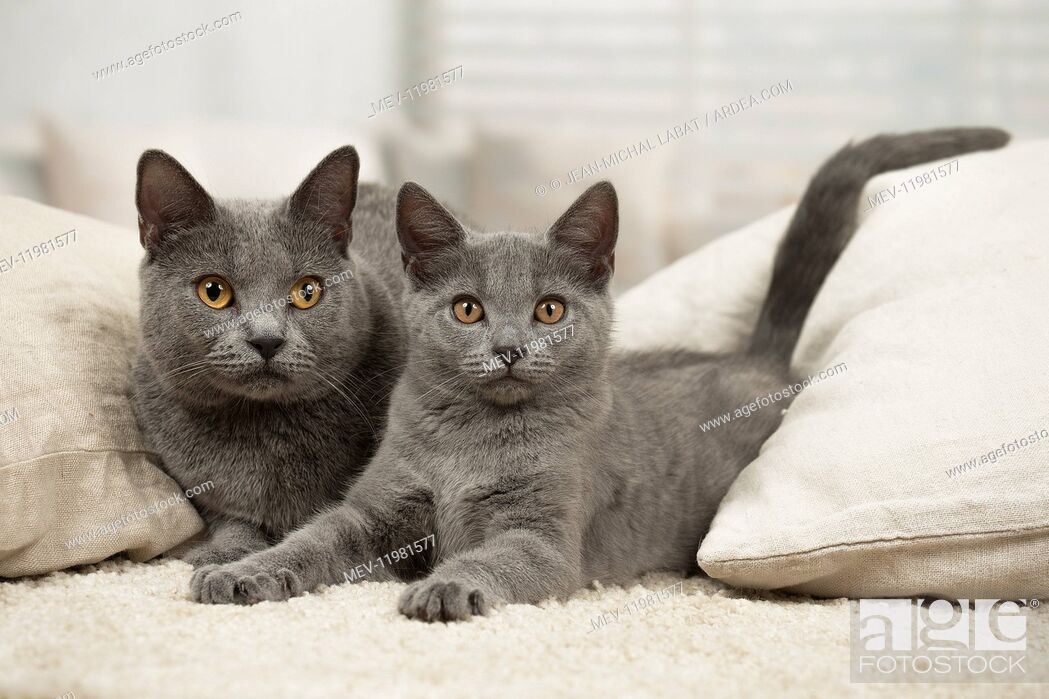 Stock Photo: Grey Chartreux cat and kitten indoors.