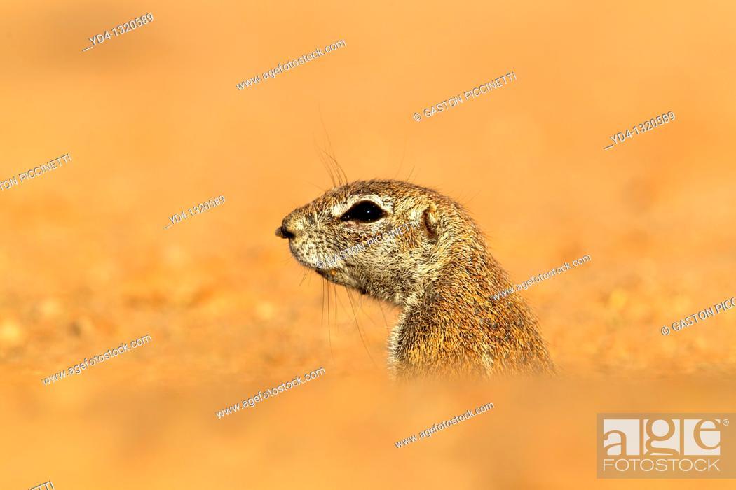 Stock Photo: Ground Squirrel Xerus inauris, lending out of its burrow, Kgalagadi Transfrontier Park, Kalahari desert, South Africa.