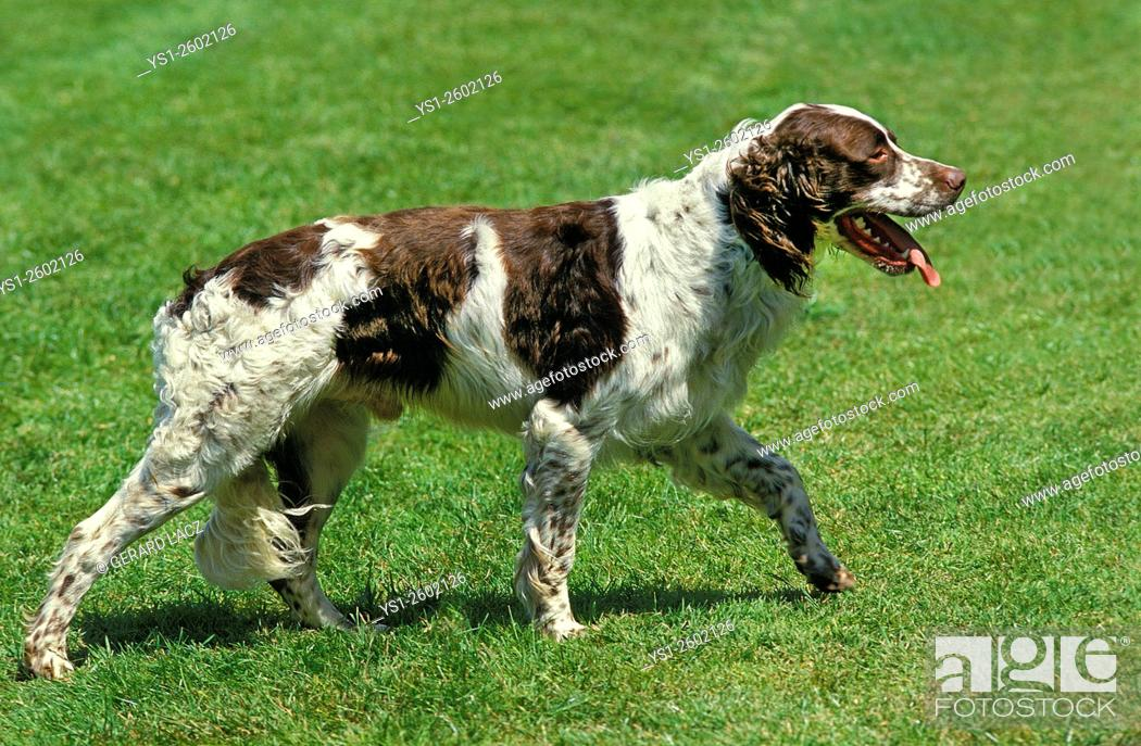 Imagen: French Spaniel, Adult walking on Lawn.