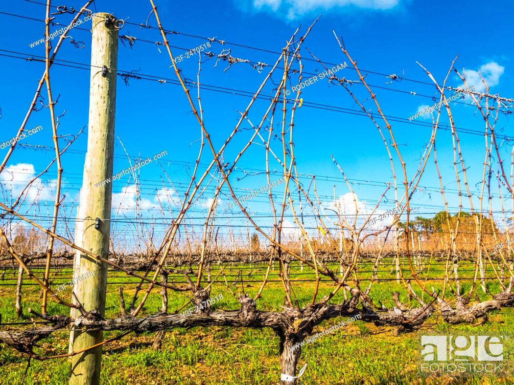 Stock Photo: Vineyard in winter. Time for tending and pruning. Cape Town, South Africa.