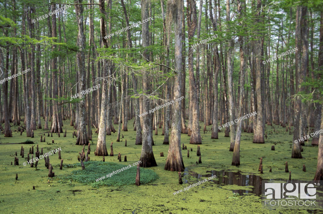 Stock Photo: Atchafalaya Basin, cypresses, Louisiana, marsh, scenery, landscape, trees, USA, America, United States.