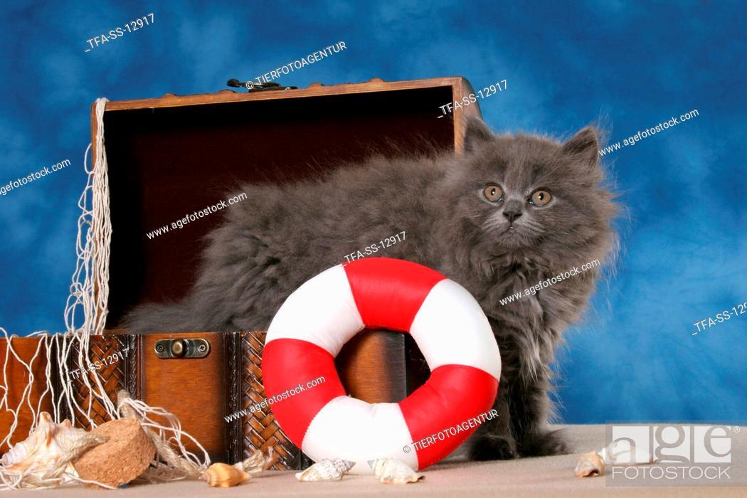 Stock Photo: Highlander Kitten in decoration.