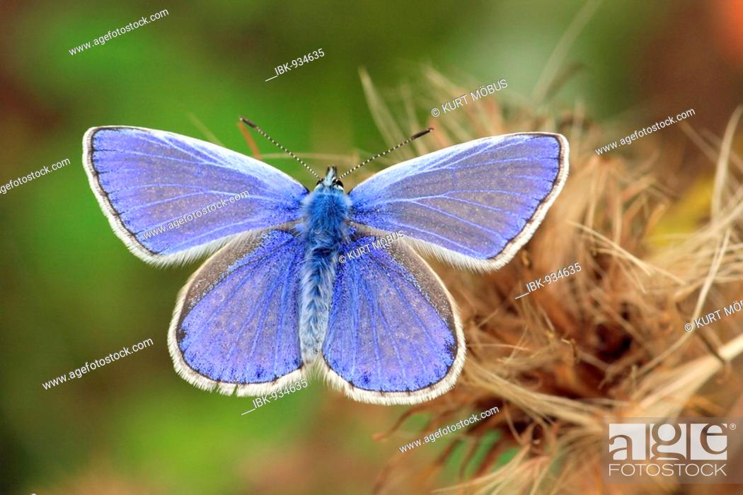 Stock Photo: Common Blue Butterfly (Polyommatus icarus), male.