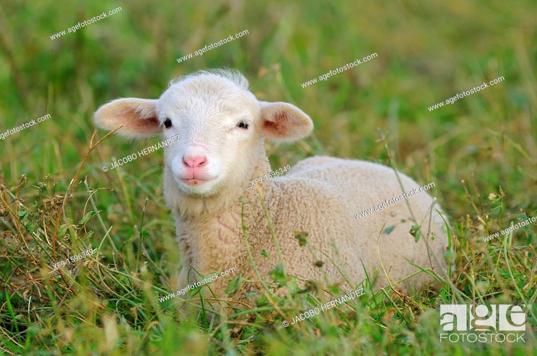 Stock Photo: Merino lamb, Extremadura, Spain.