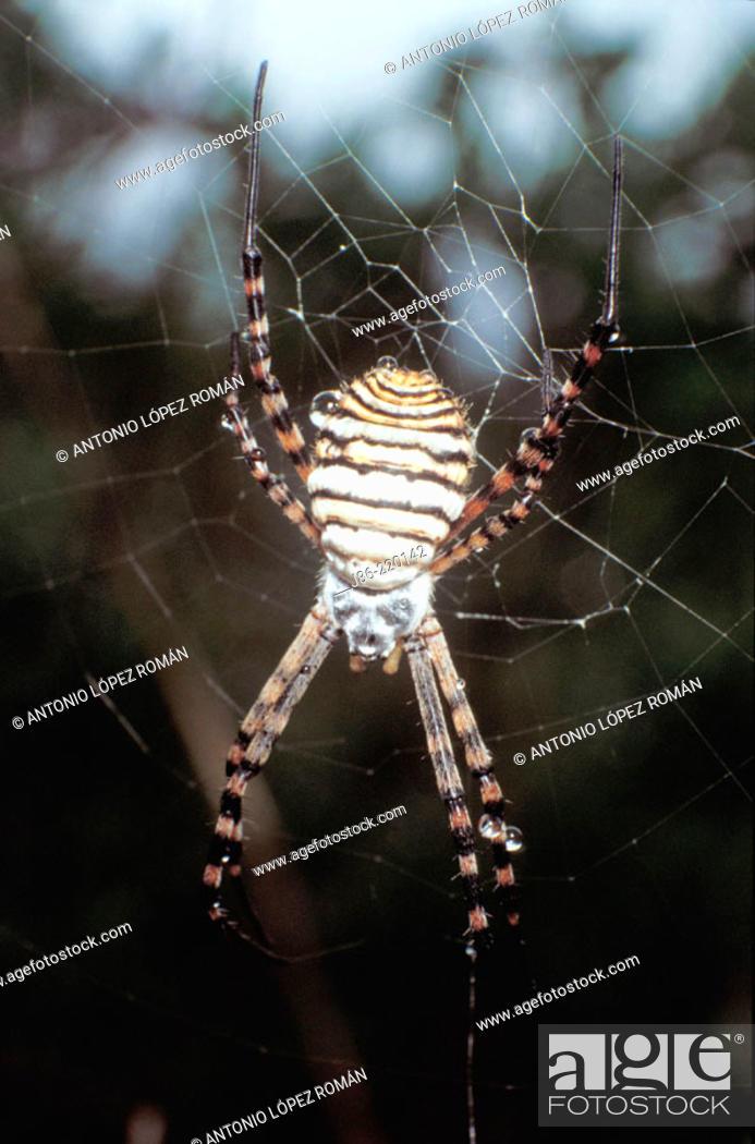 Stock Photo: Spider (Argiope trifasciata).