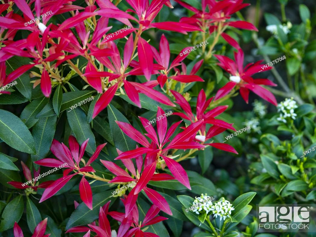 Stock Photo: Bright red foliage of pieris 'forest flame' evergreen shrub.