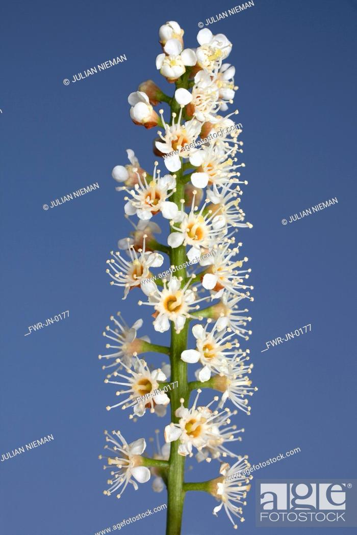 Stock Photo: Prunus laurocerasus, Laurel, White subject, Blue background.