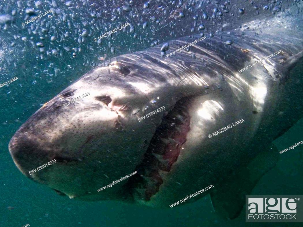 Imagen: Great white shark in surface, Australia.
