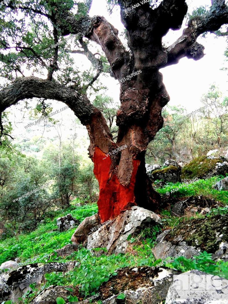 Stock Photo: Cork oak, Cáceres, Extremadura, Spain.