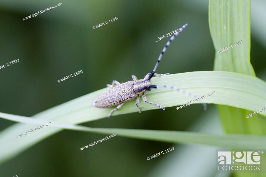 Imagen: Golden-bloomed Grey Longhorn, Agapanthia villosoviridescens, medium sized Longhorn beetle that is gold-black color with median stripe on head and pronotum.