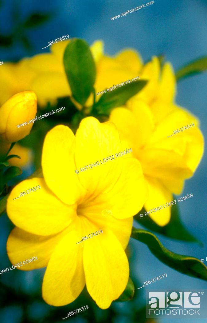 Stock Photo: Flowers of Jasminum mesnyi.